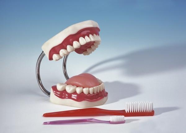 Zahnputzmodell, groß